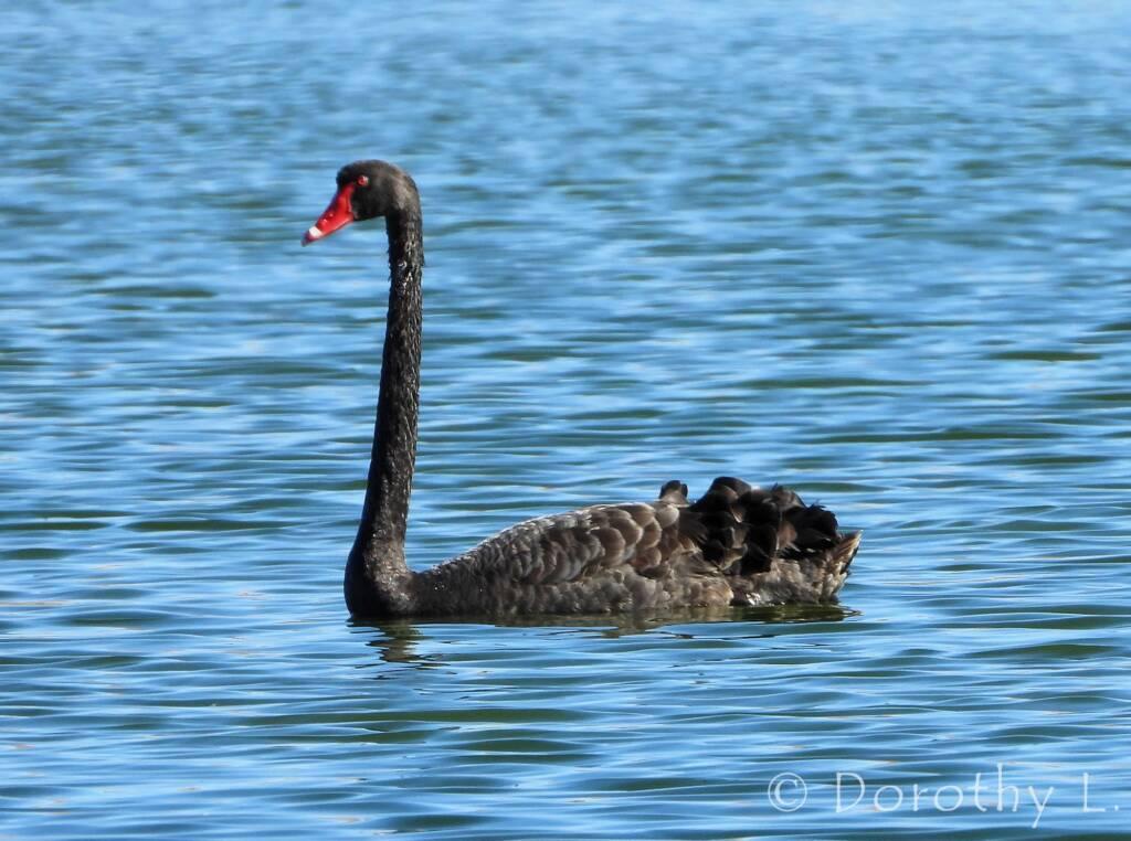 Black Swan (Cygnus atratus), Alice Springs