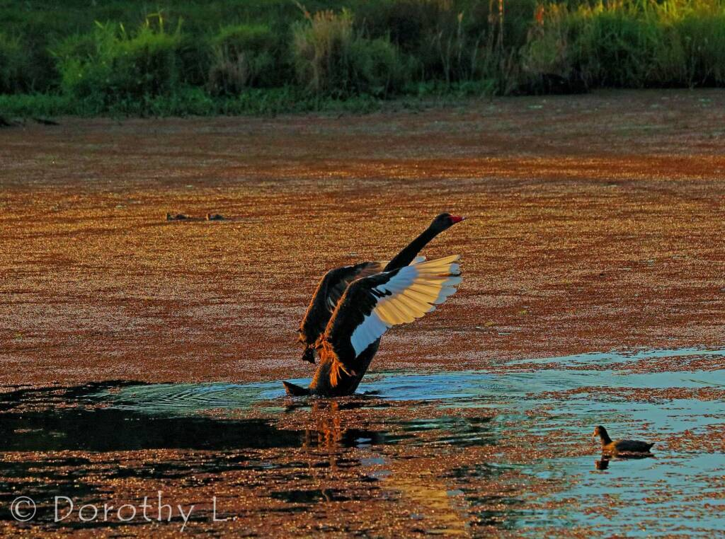 Black Swan (Cygnus atratus) at dusk