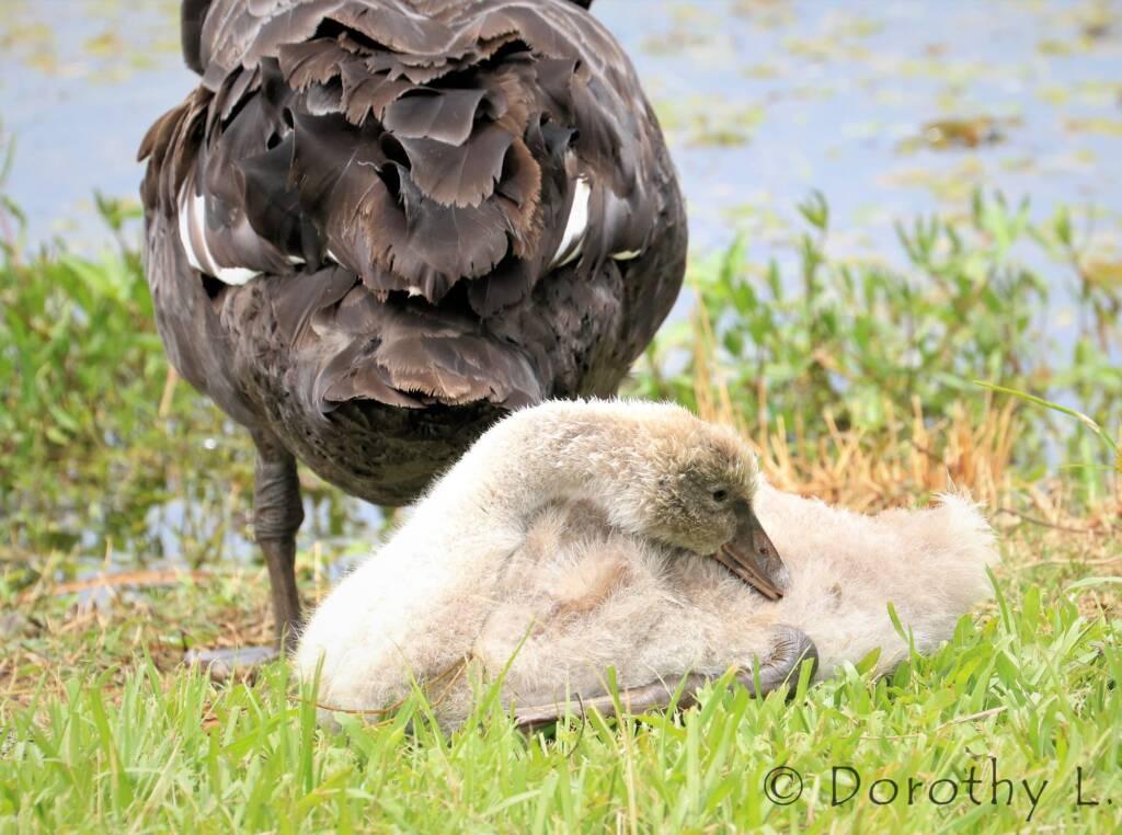 Black Swan (Cygnus atratus) and cygnet