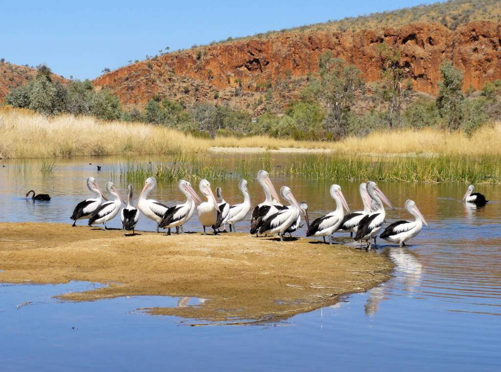 Black Swan with Australian Pelicans, 2 Mile, West MacDonnell Ranges