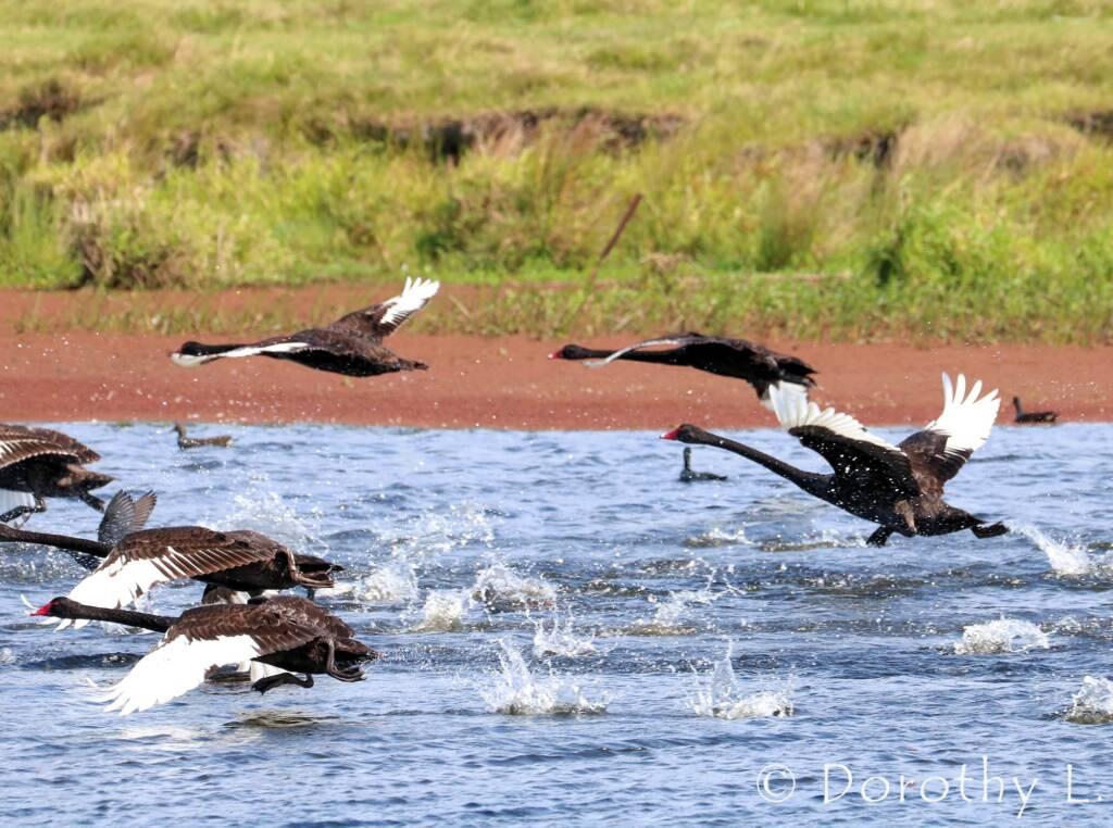 Black Swans (Cygnus atratus)