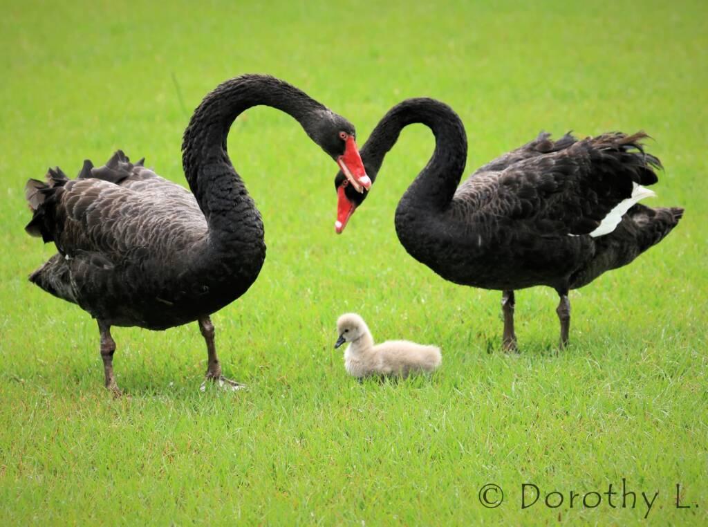 Black Swans (Cygnus atratus) and cygnet