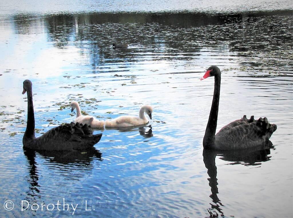 Black Swans (Cygnus atratus) and cygnets