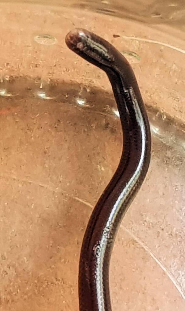 Blind Snake (Genus Anilios)