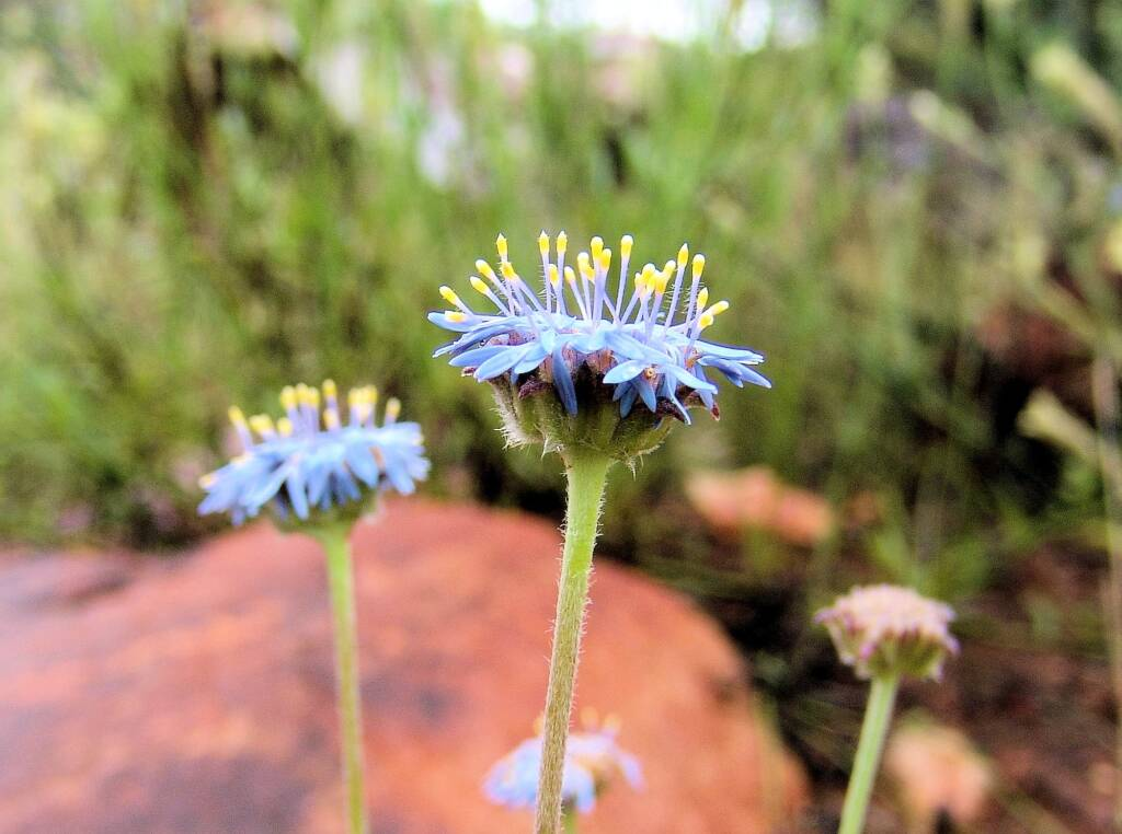 Blue Pincushion (Brunonia australis)