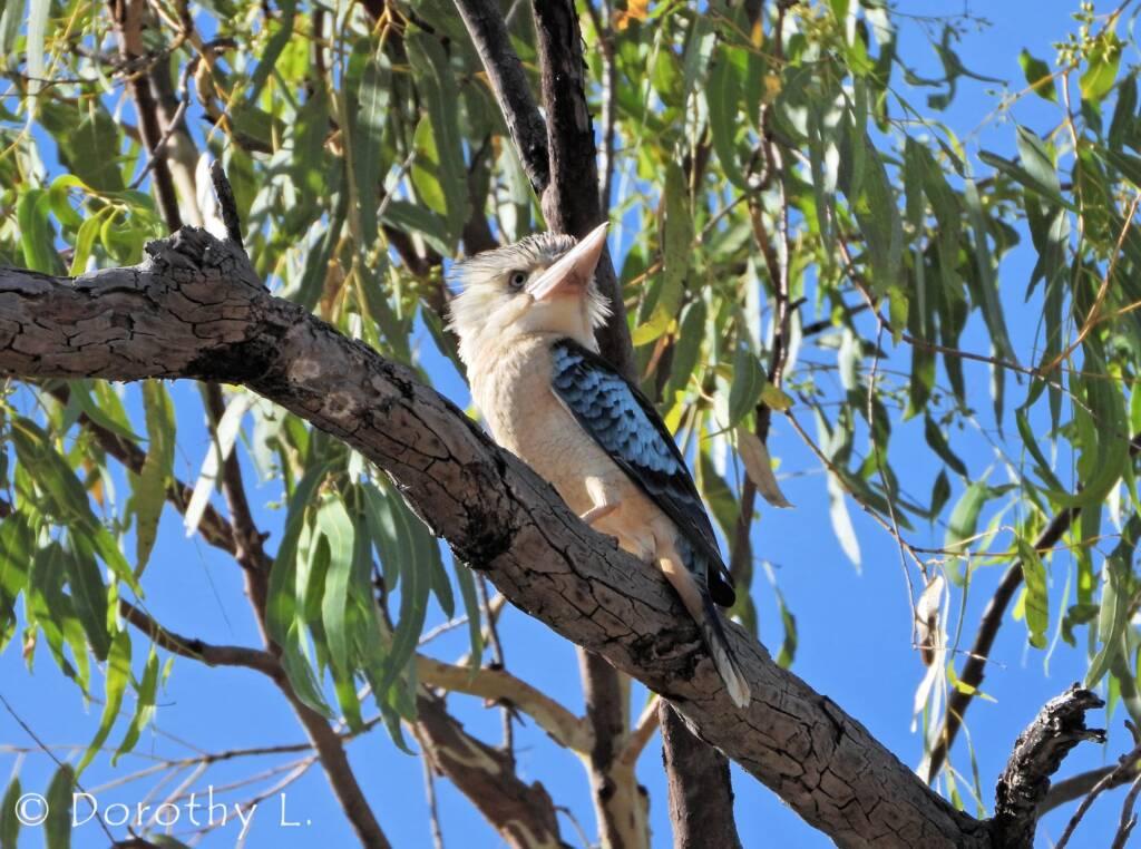 Blue-winged Kookaburra (Dacelo leachii)