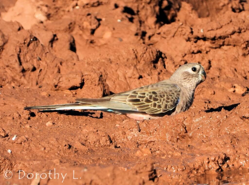 Bourke's Parrot (Neopsephotus bourkii)