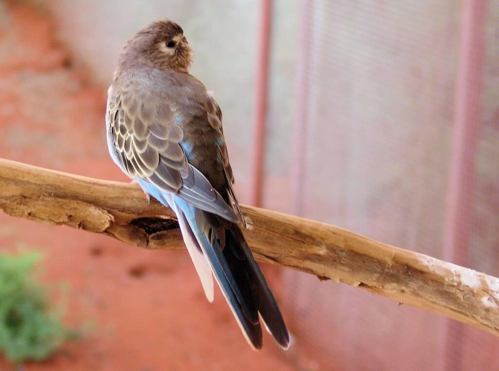 Bourke's Parrot (Neopsephotus bourkii), Alice Springs Desert Park