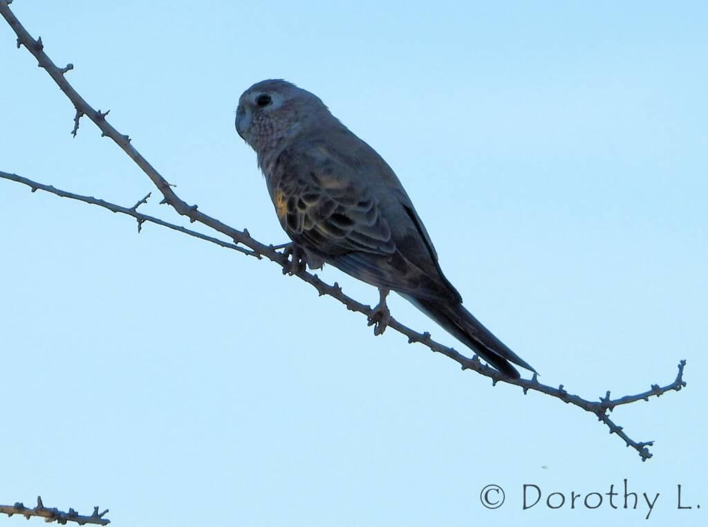 Bourke's Parrot (Neopsephotus bourkii), sunrise at Kunoth Bore, NT