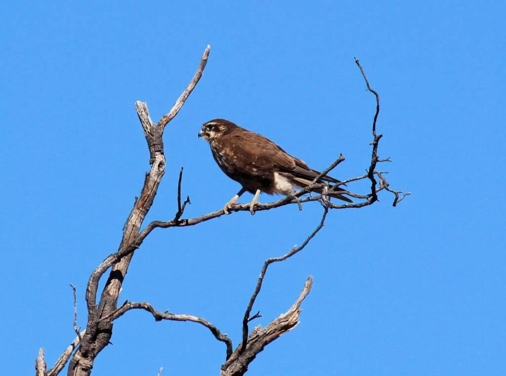 Brown Falcon (Falco berigora), Owen Springs, NT
