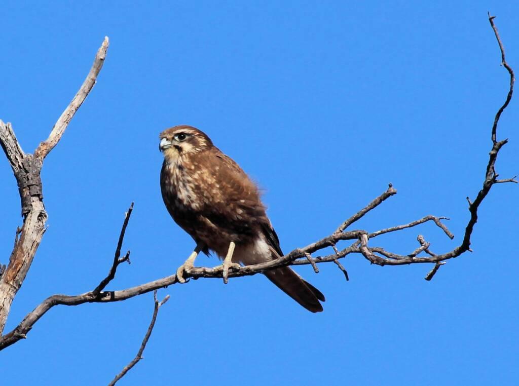 Brown Falcon (Falco berigora), Owen Springs, NT © Greg Sully