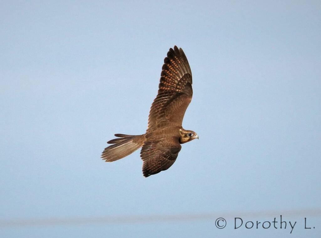 Brown Falcon dark morph (Falco berigora), Santa Teresa Rd, Central Australia