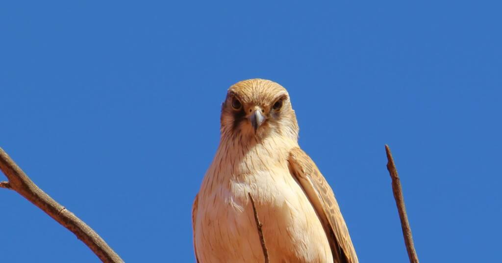 Juvenile Brown Falcon (close-up), Owen Springs © Greg Sully