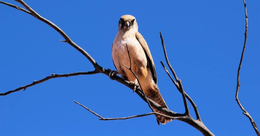 Juvenile Brown Falcon (Falco berigora), Owen Springs © Greg Sully