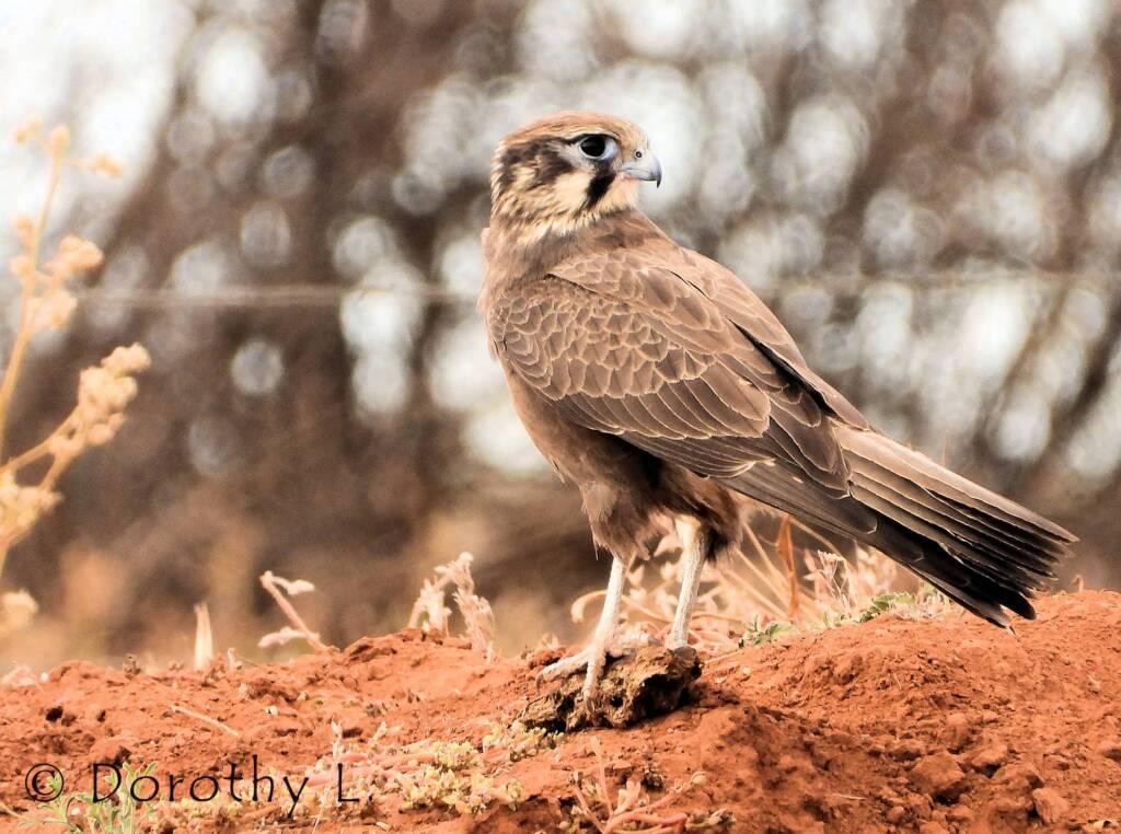 Brown Falcon (Falco berigora)