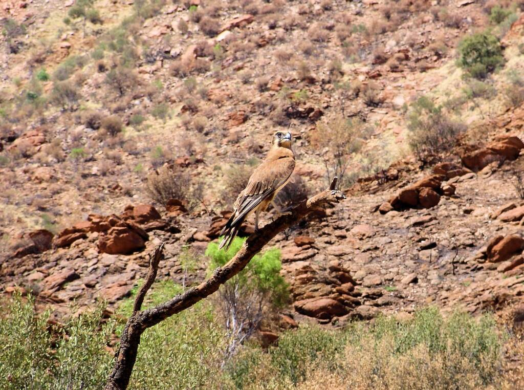 Brown Falcon (Falco berigora), Alice Springs Desert Park