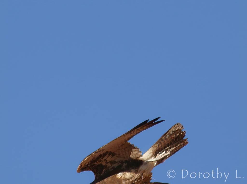 Brown Falcon dark morph (Falco berigora)