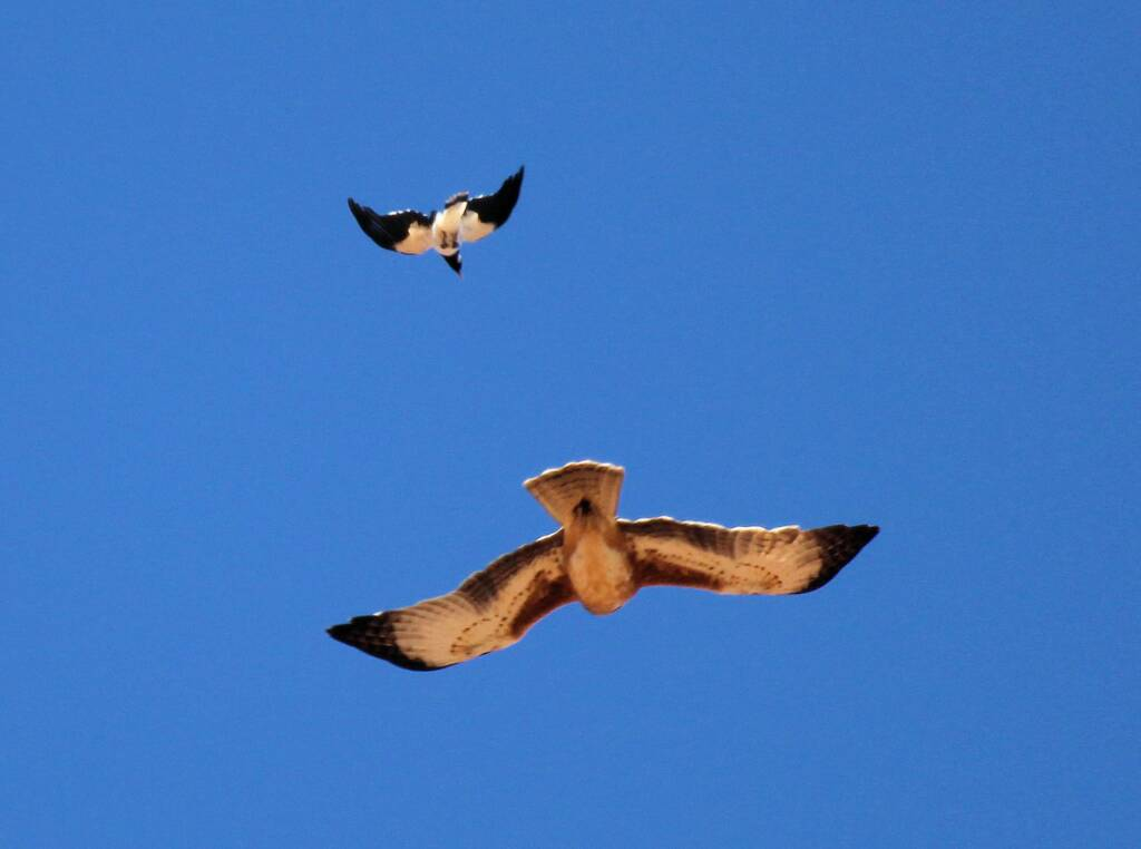 Brown Falcon (Falco berigorabeing harassed by Magpie, Owen Springs, NT © Greg Sully