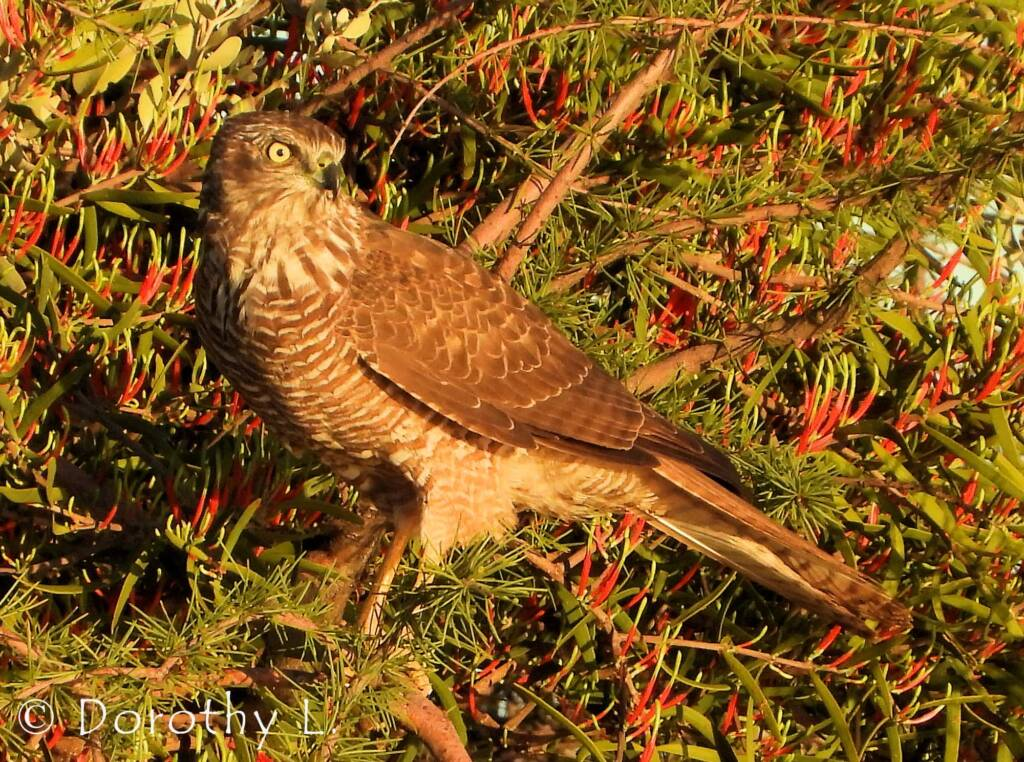 Brown Goshawk (Accipiter fasciatus) at sunrise, Central Australia, NT