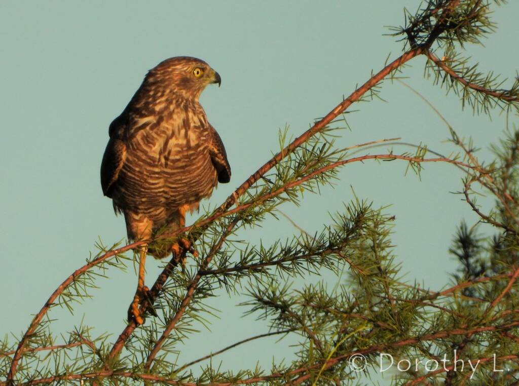 Brown Goshawk (Accipiter fasciatus), Central Australia, NT