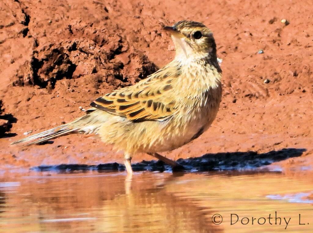 Brown Songlark (Cincloramphus cruralis)