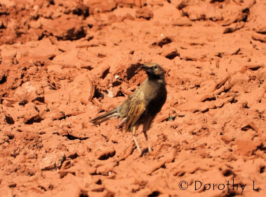 Male Brown Songlark (Cincloramphus cruralis)