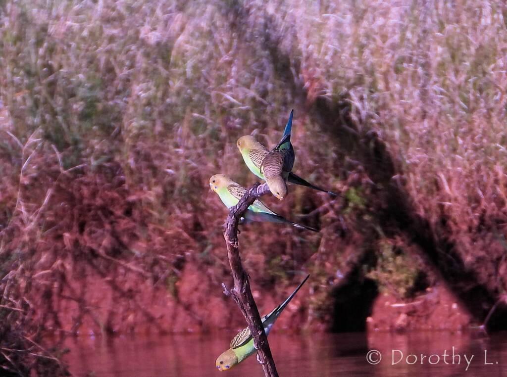 Budgerigars (Melopsittacus undulatus), Kunoth Bore, NT