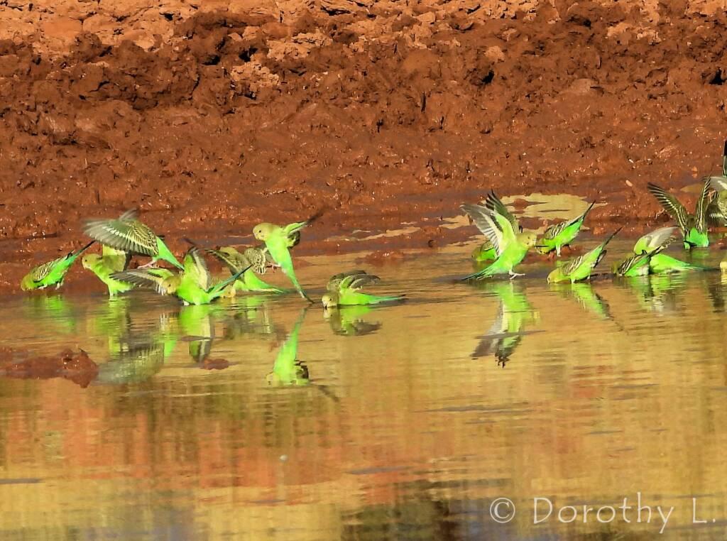 Budgerigars (Melopsittacus undulatus) at water source
