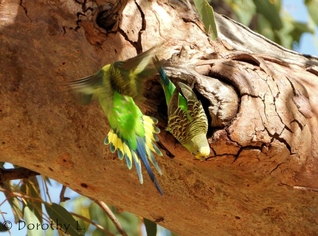 Budgerigar (Melopsittacus undulatus)