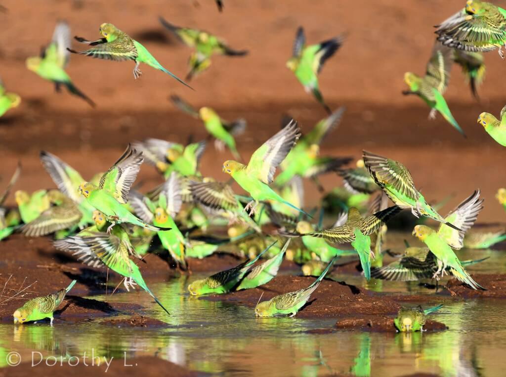 Budgerigars (Melopsittacus undulatus) at waterhole