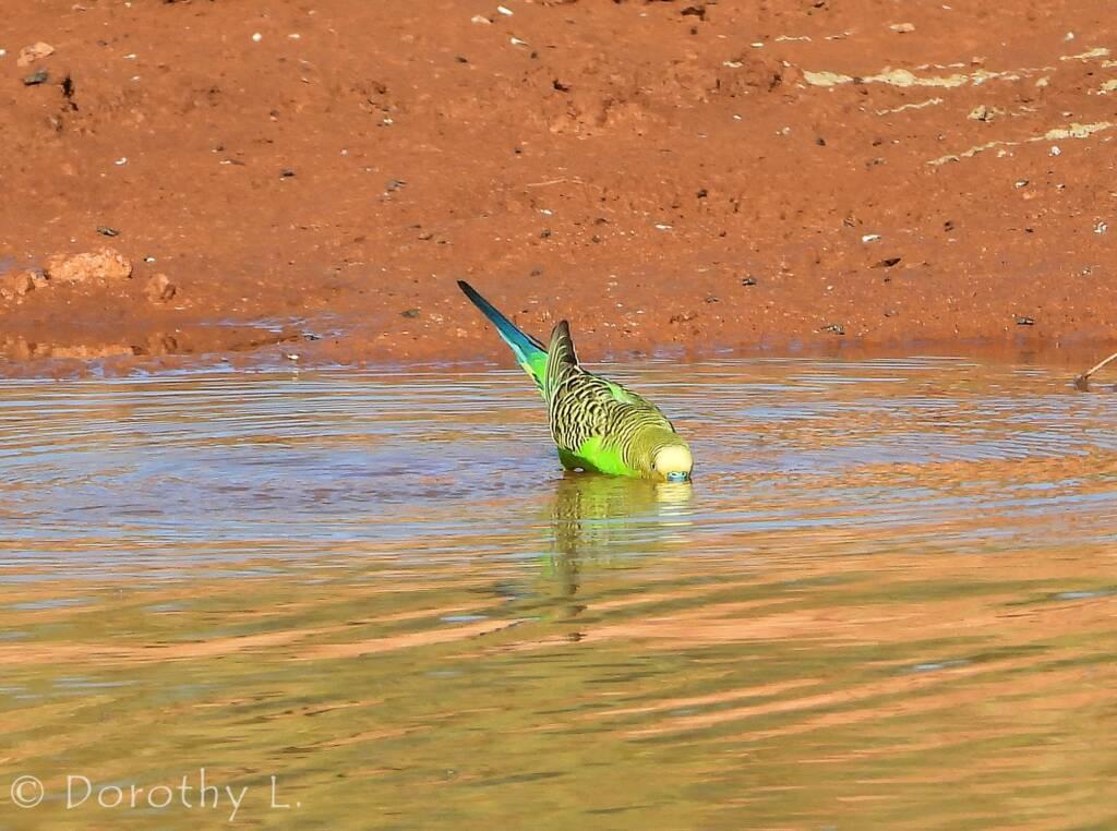 Budgerigar (Melopsittacus undulatus) at water source