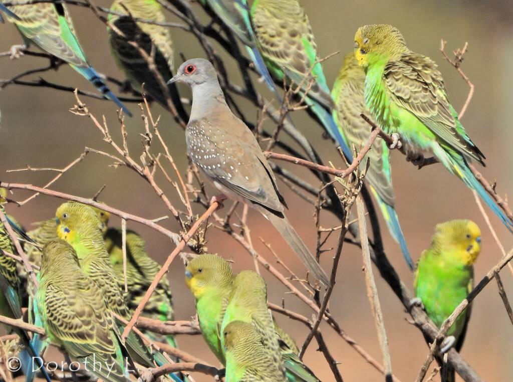 Budgerigars and Diamond Dove