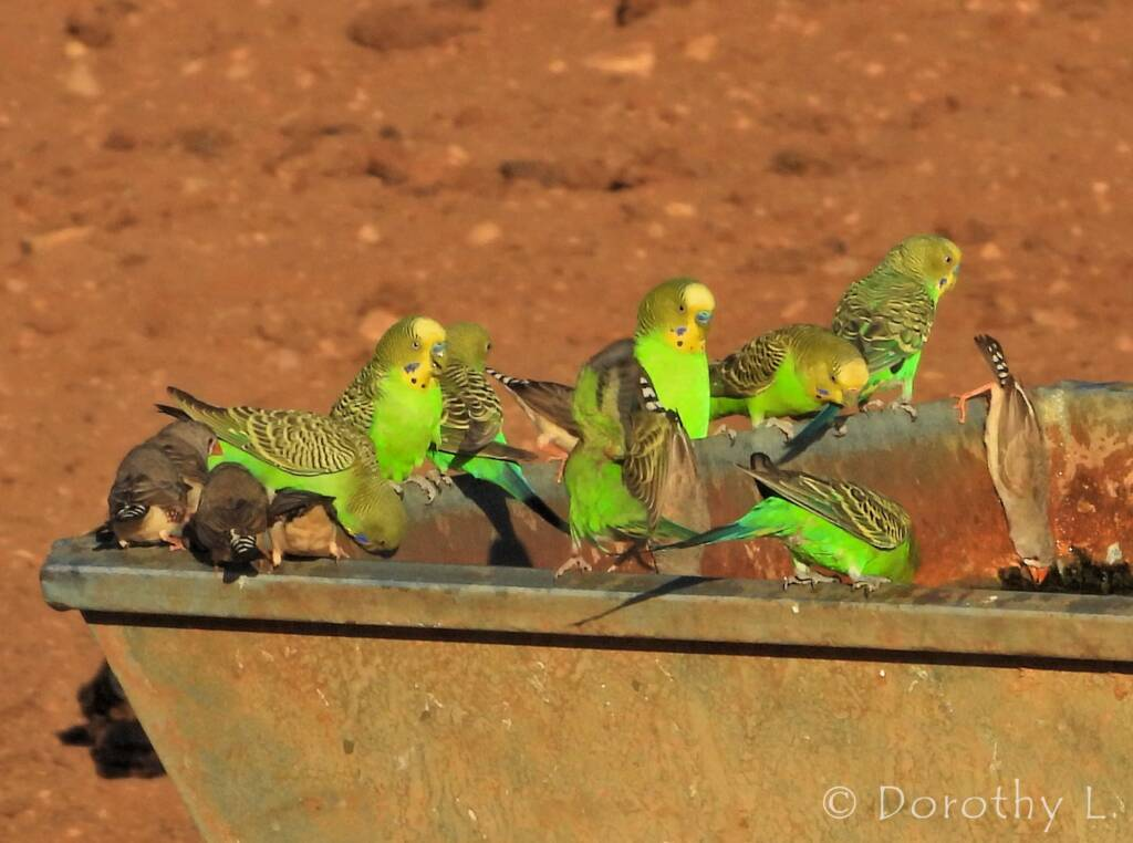 Budgerigars and Zebra Finches at water trough