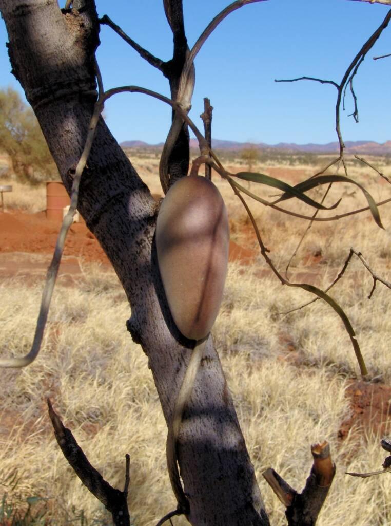 Bush Banana (Marsdenia australis)
