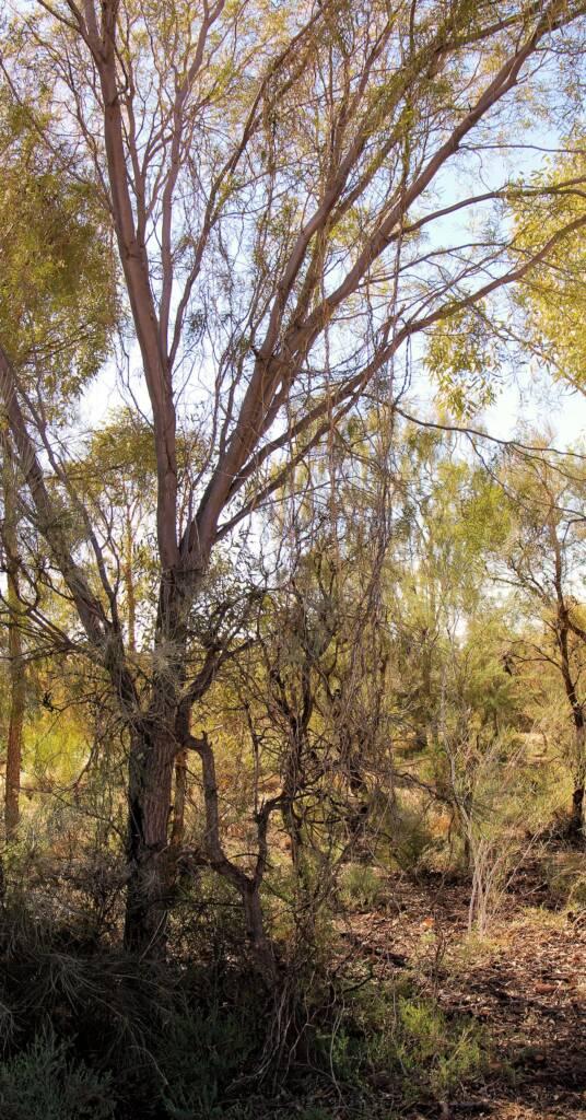 Mass tangle of the bush banana vine