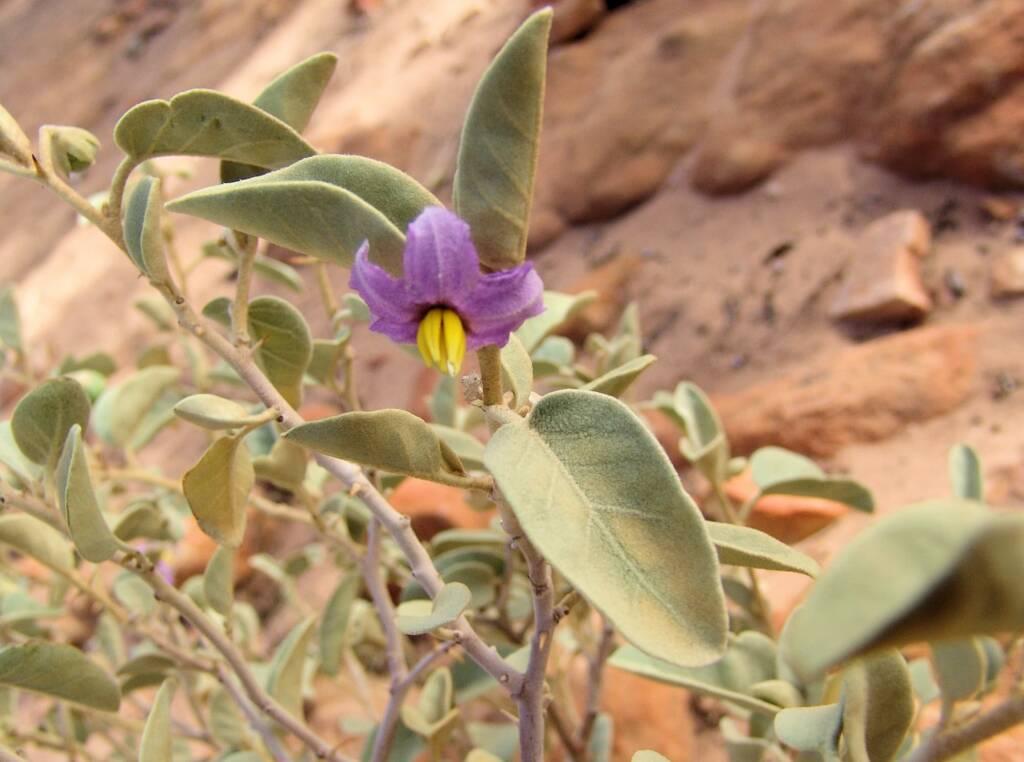 Bush Tomato (Solanum centrale), Kings Canyon