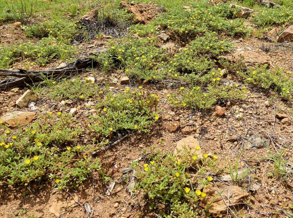 Buttercup Pigweed (Portulaca intraterranea), Alice Springs Desert Park