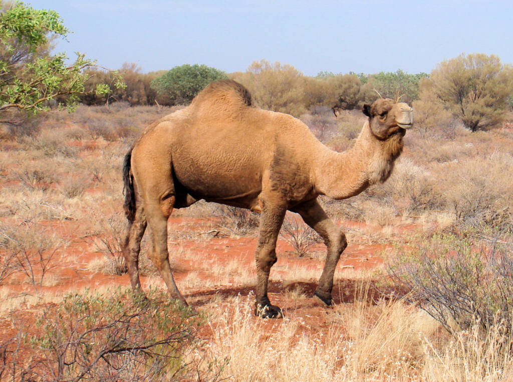 Camel (off the Lassetter Hwy at Uluru)