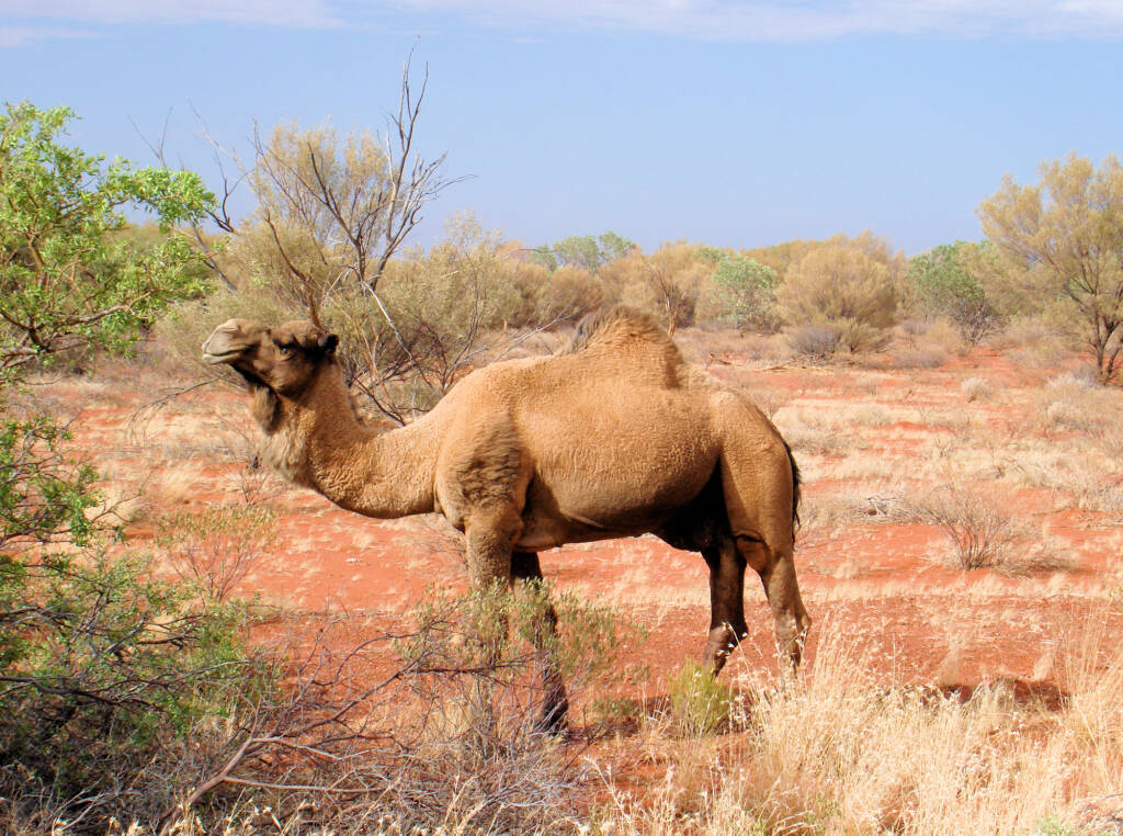 Camel (off the Lassetter Hwy at Uluru)