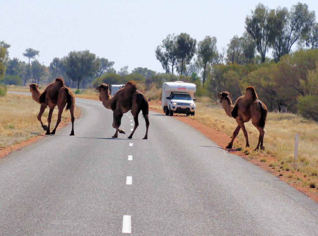 Camel (Lassetter Hwy at Uluru)