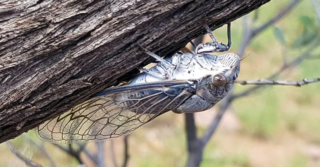 Camouflaged Cicada
