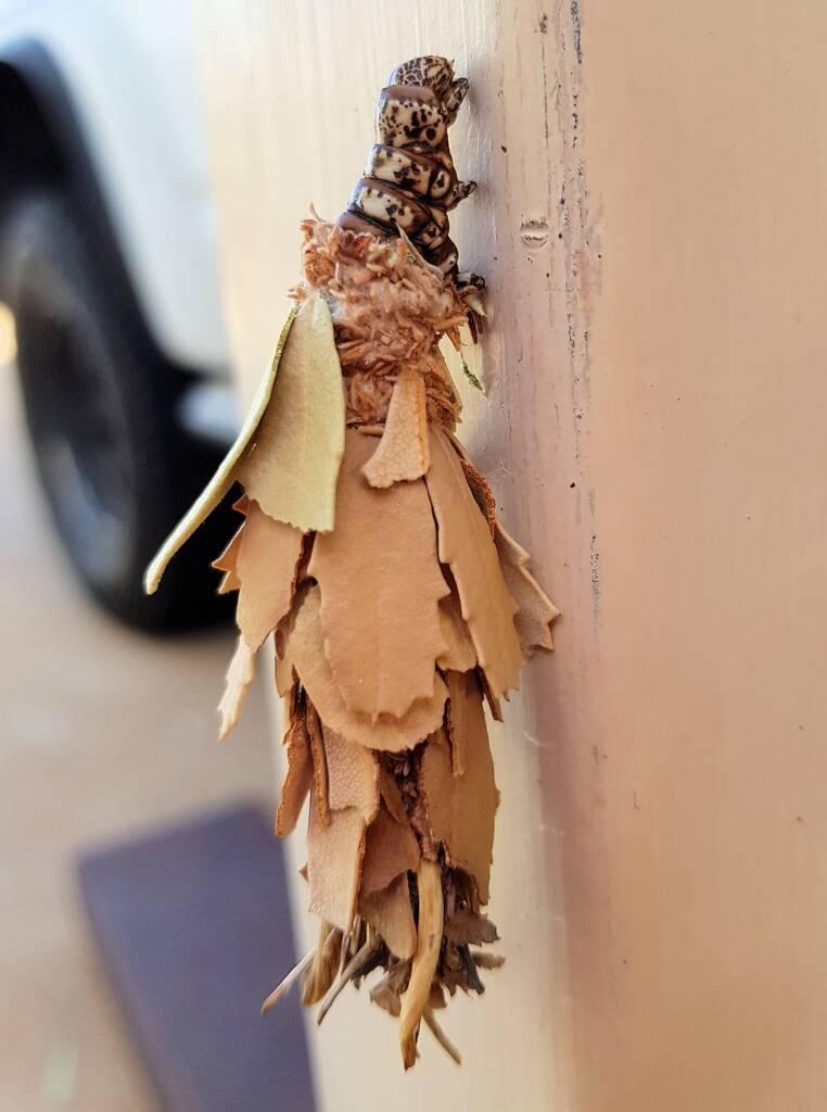 Leaf Case Moth (Hyalarcta huebneri)