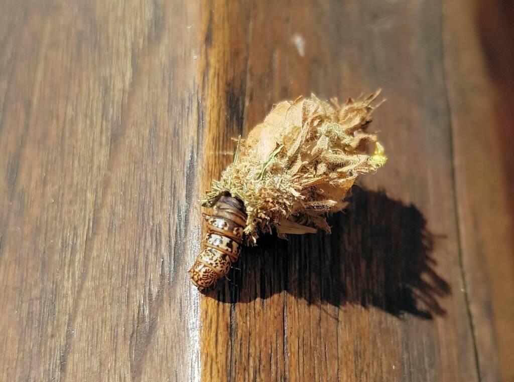 Case Moth (Family Psychidae)