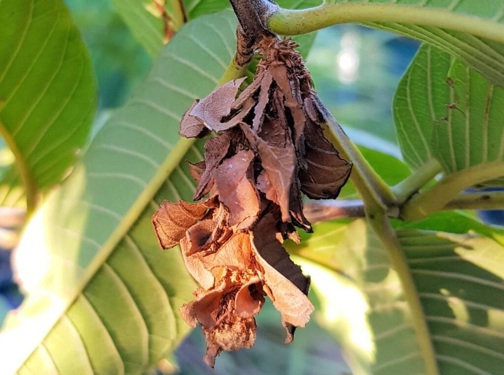Leaf Case Moth (Family Psychidae)