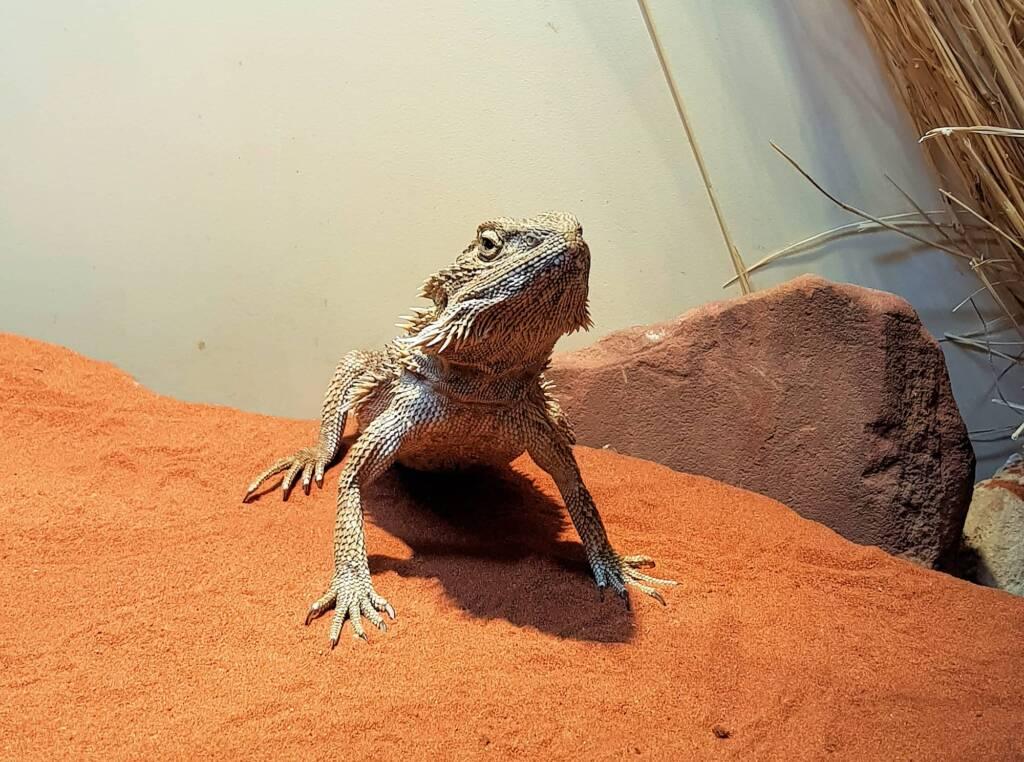 Central Bearded Dragon (Pogona vitticeps), Alice Springs Reptile Centre