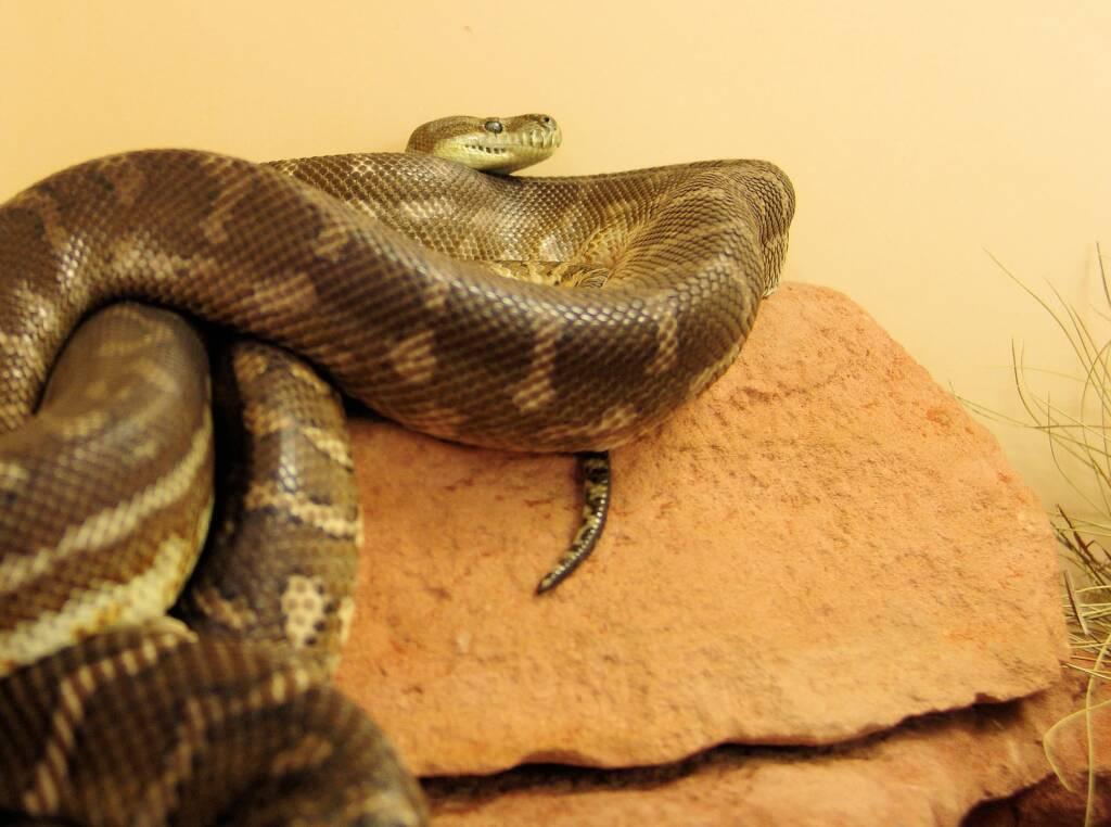 Central Carpet Python (Morelia bredli)