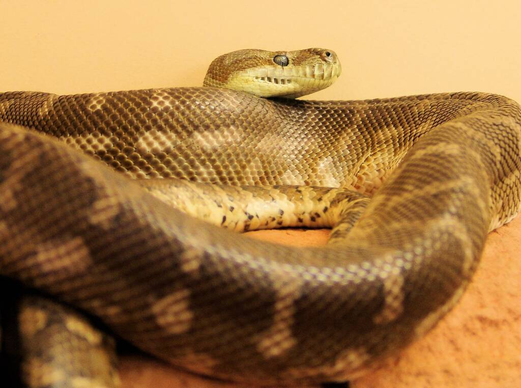 Central Carpet Python (Morelia bredli), Alice Springs Reptile Centre