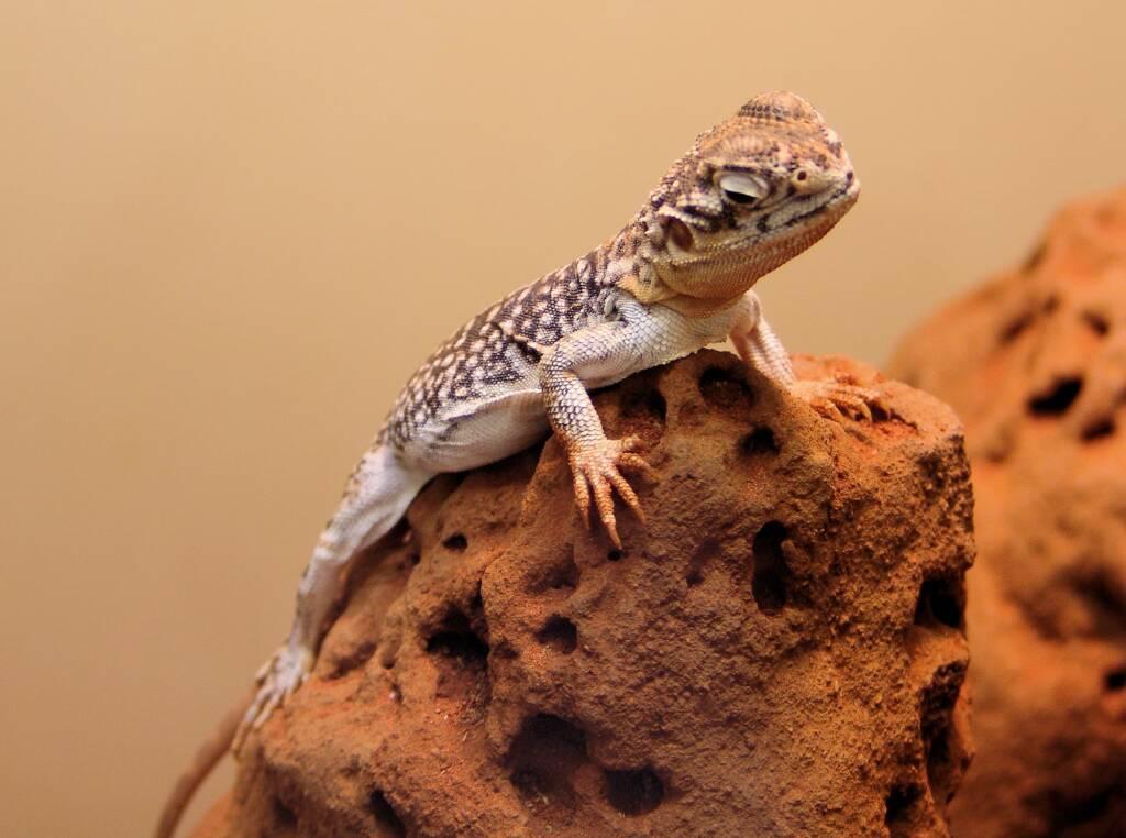 Central Netted Dragon (Ctenophorus nuchalis), Alice Springs Reptile Centre