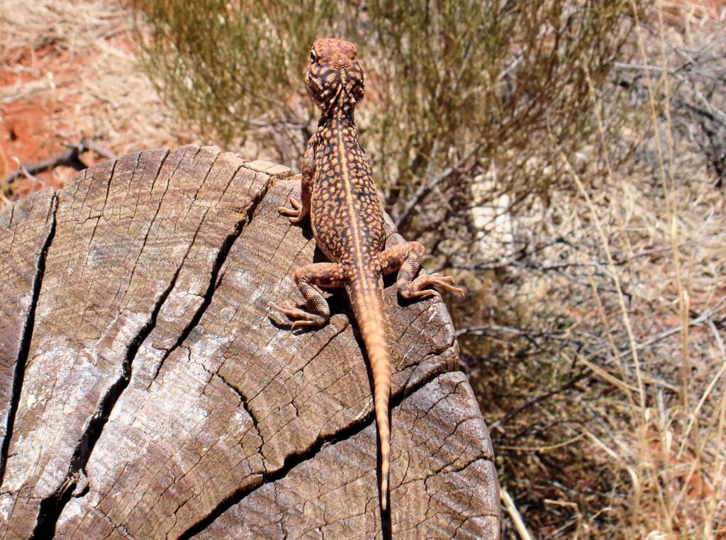 Central netted dragon (Ctenophorus nuchalis)