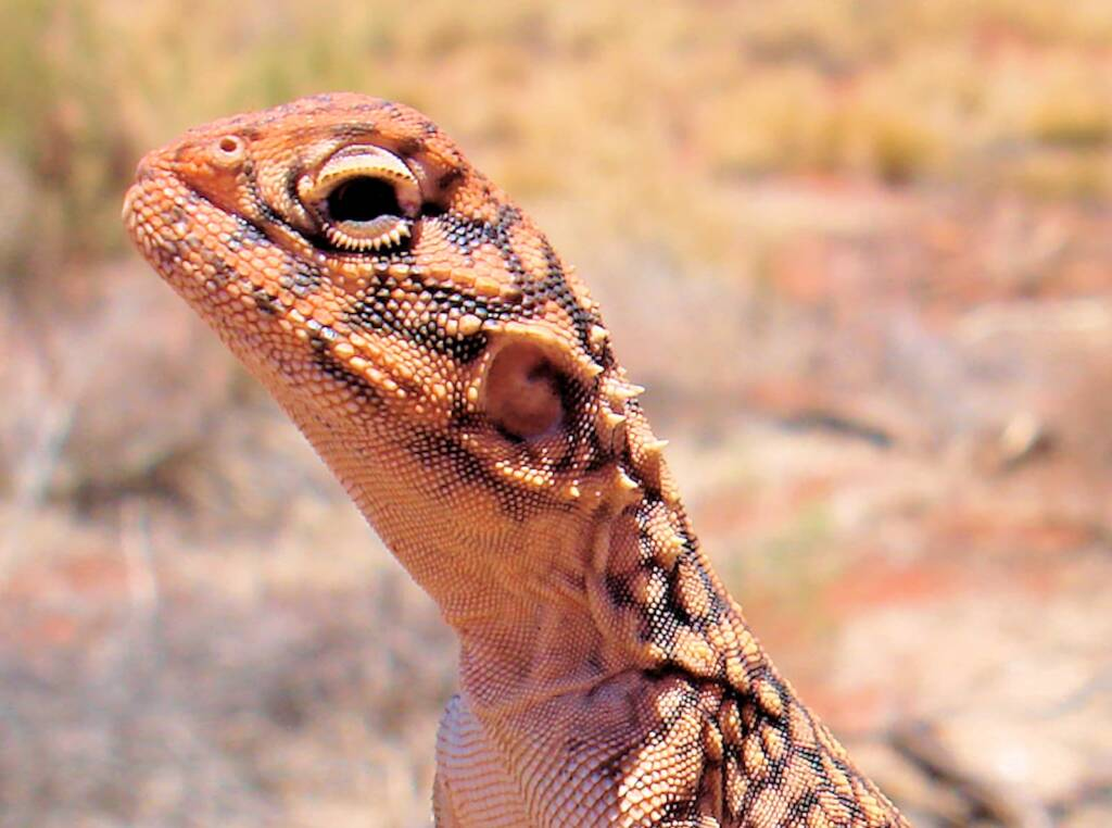 Closeup of Central netted dragon (Ctenophorus nuchalis)